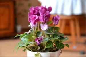 How to keep a cyclamen, flowering bought? Checked - tips work