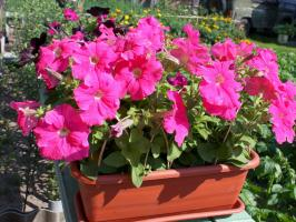 End of March-April, when to sow petunia on the lunar calendar in 2019