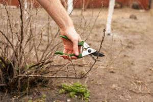 "Effective pruning blackcurrant for the ""Dummies"": the golden rules of gardening"