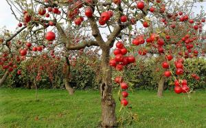 How to properly care for the old fruit trees in the garden