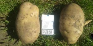 My secrets to growing a large potato.