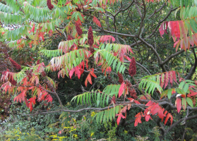 Rhus typhina - unusual for your garden tree