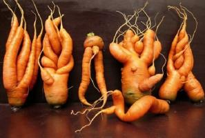 Carrots grown curve and ugly, why it happened and how to avoid it.