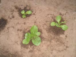 How to plant seedlings of Chinese cabbage in the open ground?