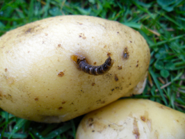 How to protect potatoes from wireworm: and why is it no one guessed