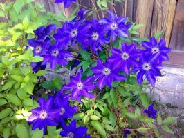 Fertilize clematis for abundant flowering in June