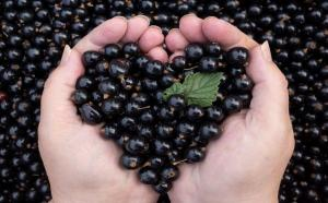 Are there any benefits of frozen black currant.