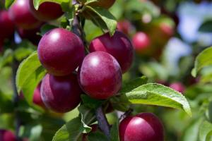 5 important tips that do not fall Plum