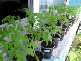 Why not sow tomato seedlings too early
