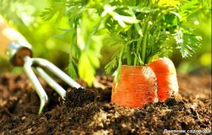 Unusual way of sowing carrots