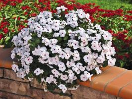 Catharanthus - a real highlight in your garden