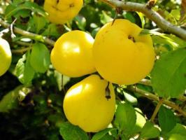 Benefits and harms of quince, medicinal properties