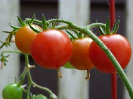 Why experienced growers fed tomatoes iodine?