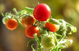 Tomatoes will be sweet! the secrets of growing