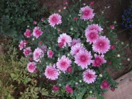 How to care for chrysanthemum spring to autumn began flowering bulb