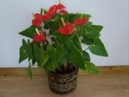 How to care for a man's happiness (Anthurium), so that it bloomed beautifully