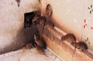 Easy way to get rid of rats and mice in the house.