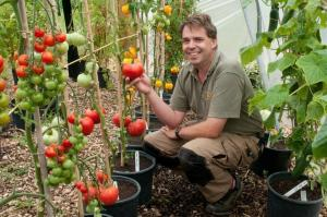 Tomatoes in buckets - svekrushkin method. And it is always in early and a good harvest