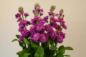 I decided - sow! What good gillyflower - a flower that blooms and fragrance delights