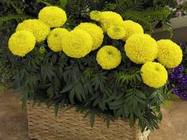 Buketny marigold cultivation method