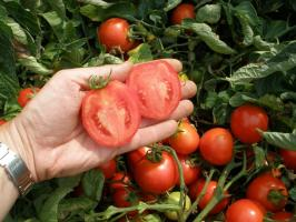 We grow tomatoes without sprouts - best grades, advantages and disadvantages of the method
