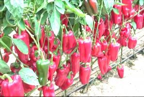 What plants should not be planted near Pepper, otherwise stay without a crop.