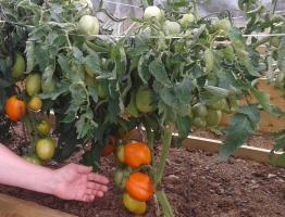 How to grow tomatoes in a cool summer? Top tips
